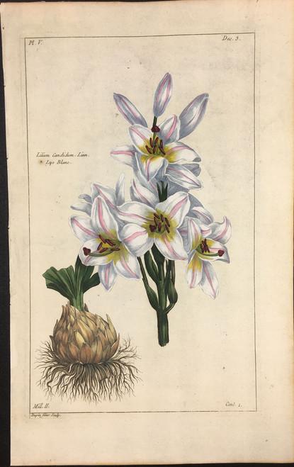 Lilium Candidum Pl.V Decad 3
