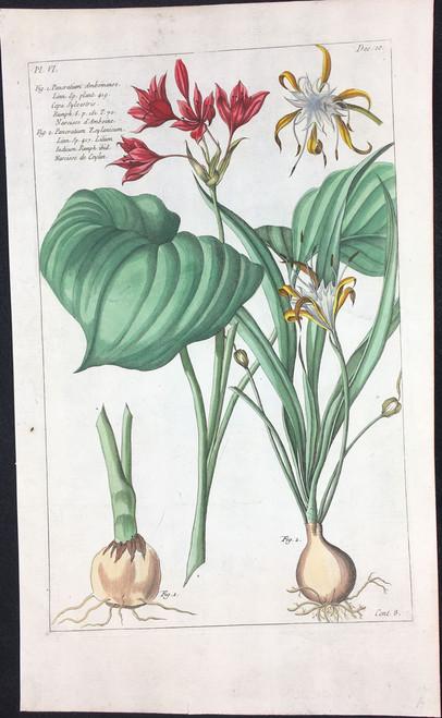Pancratium Amboinense Pl.VI Decad 10