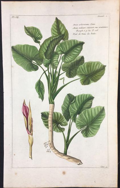 Arum arborescens Pl.VII Decad2