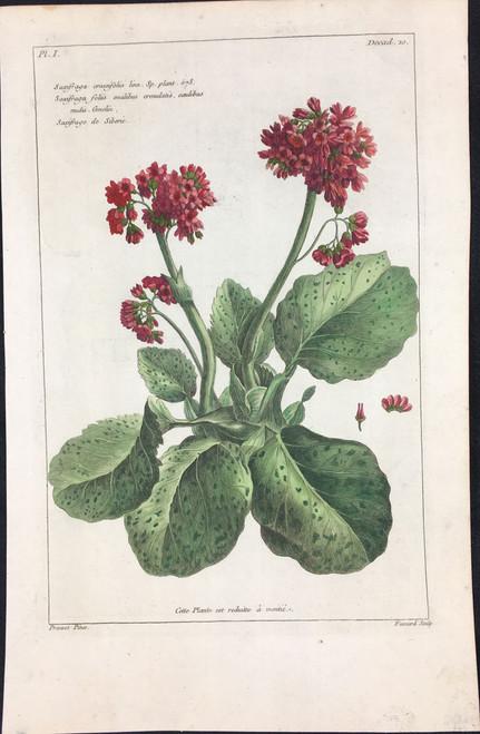 Saxifraga crassifolia Pl.I Decad 10
