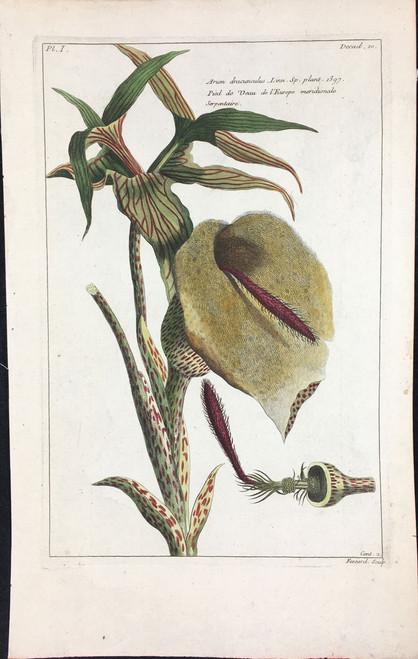 Arum dracunculus Pl.I Decad 10