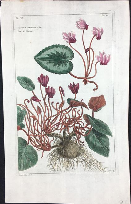 Cyclamen curopaeum Pl.VIII Decad 10