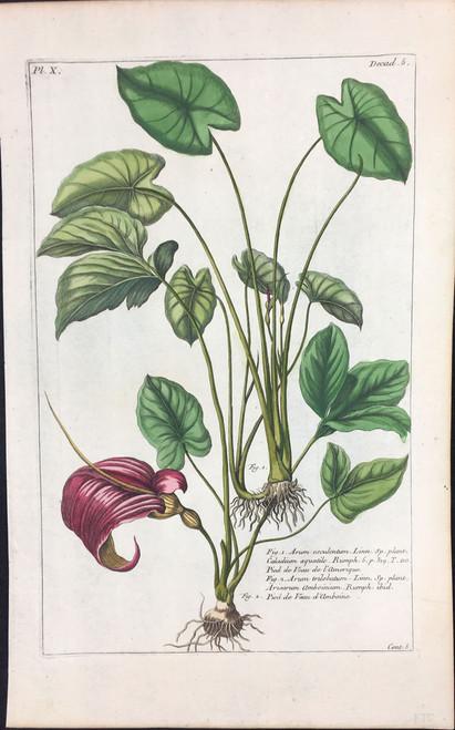 Arum esculentum Pl.X Decad 5