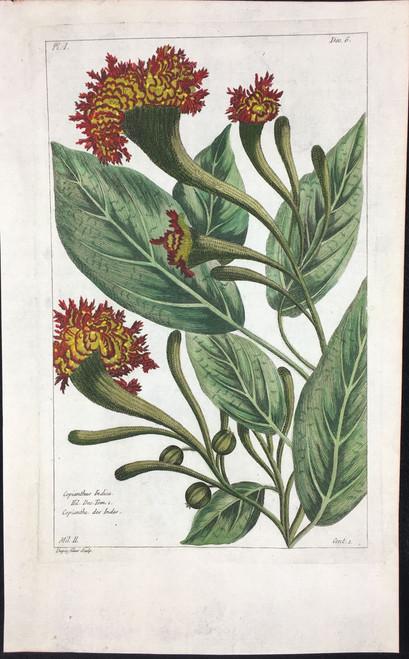 Copianthus Indica Pl.I Decad 6