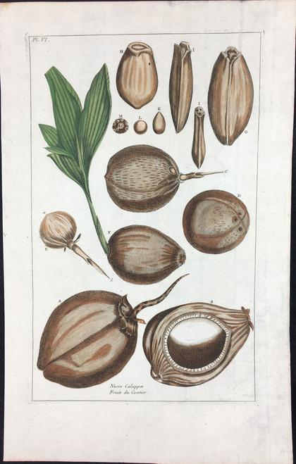 Fruits du Cocotier Pl.VI