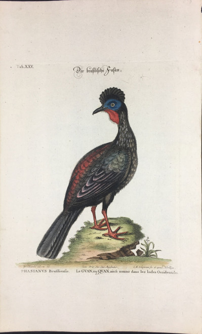 Phasianus Brasiliensis Tab.XXV
