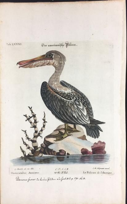 Le Pelican de l'Amerique Tab.LXXXI