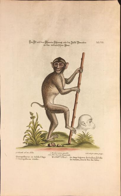 Le Singe de Cochon Sumatra Tab.VIII