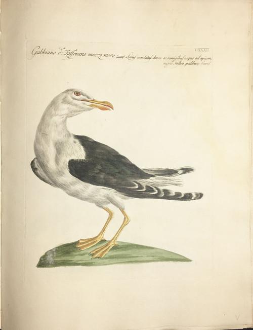 Seagull DXXXII