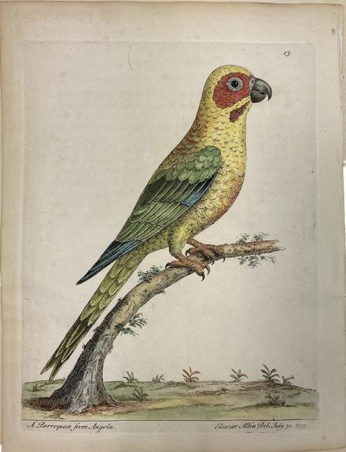 Angolan Parrakeet