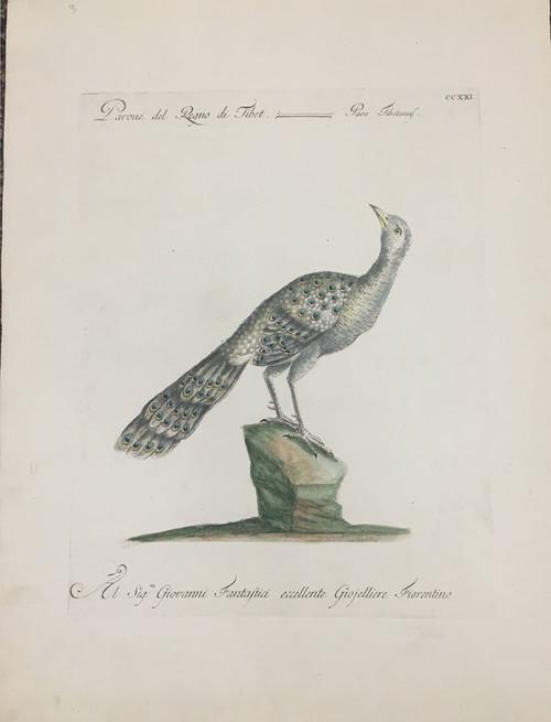 Tibetan Peacock