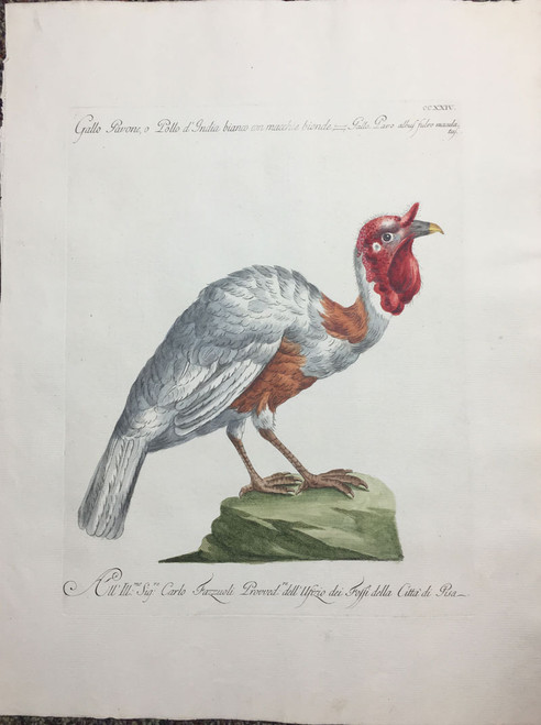 Indian Rooster