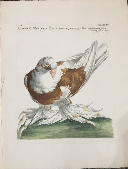 Piccion Pigeon