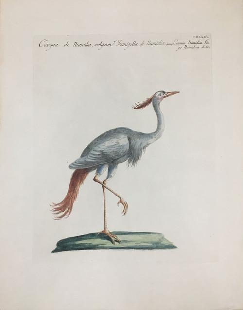 Numidian Stork