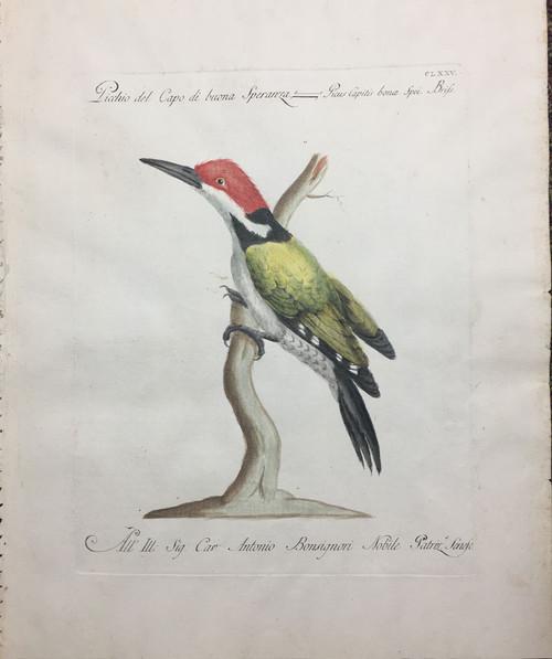 Portuguese Woodpecker
