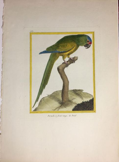 Brazilian Parrot