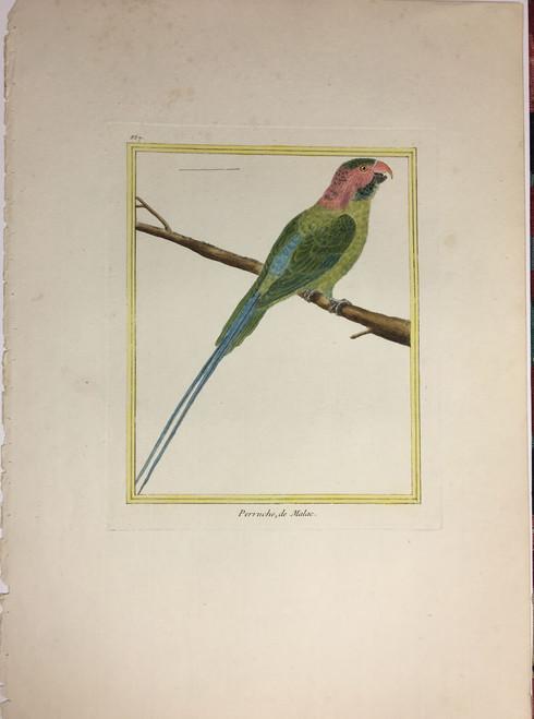 Malac Parrot