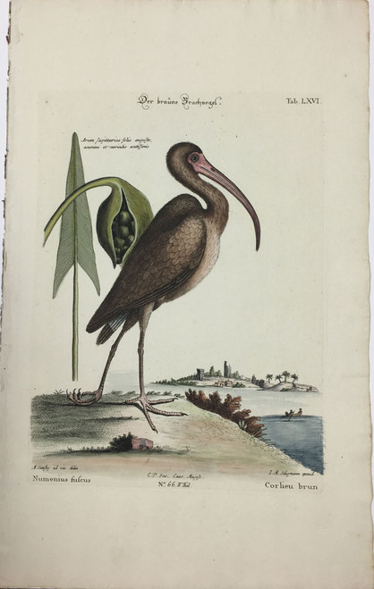 Brown Curlew/Plate LXVI
