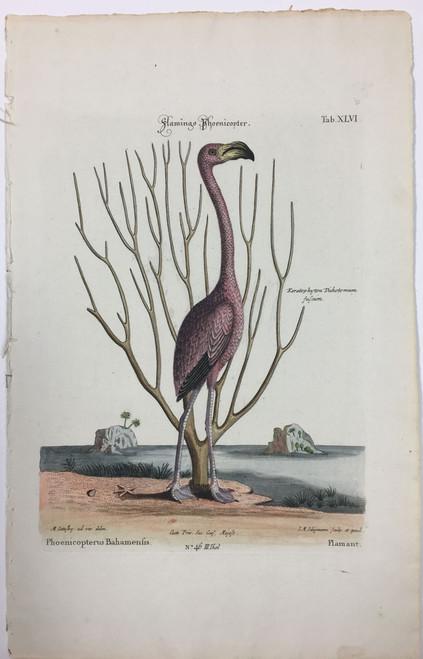 American Flamingo/Plate XLVI