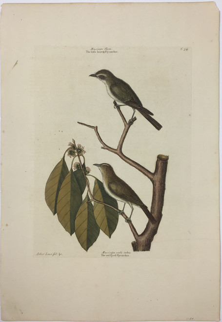 Red Eye Flycatcher/Plate-54