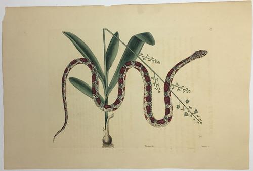 Corn Snake/Plate 55