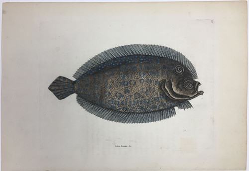 Flounder/Plate