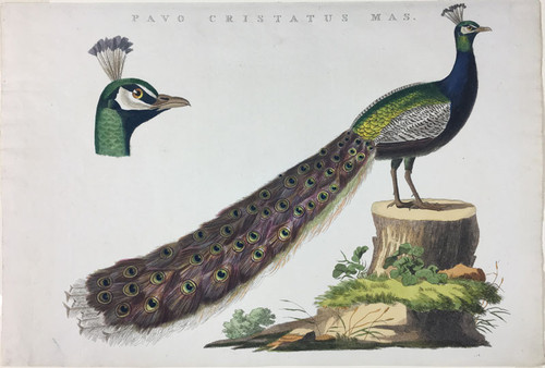 Pavo Cristatus Mas (Indian Peacock)