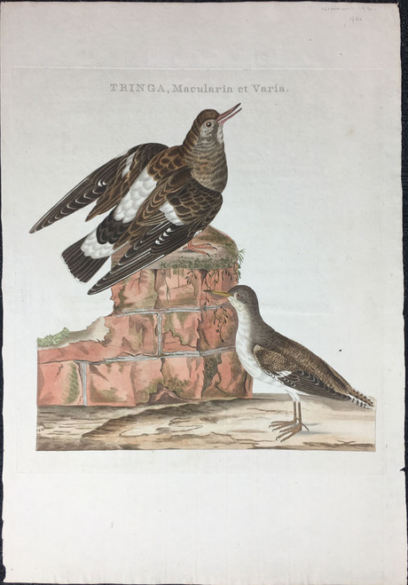 Tringa, Macularia et Varia (Spotted Sandpiper; Ruddy Turnstone