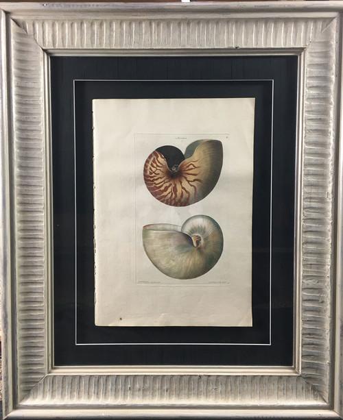 Chambered Nautilus, Plate B
