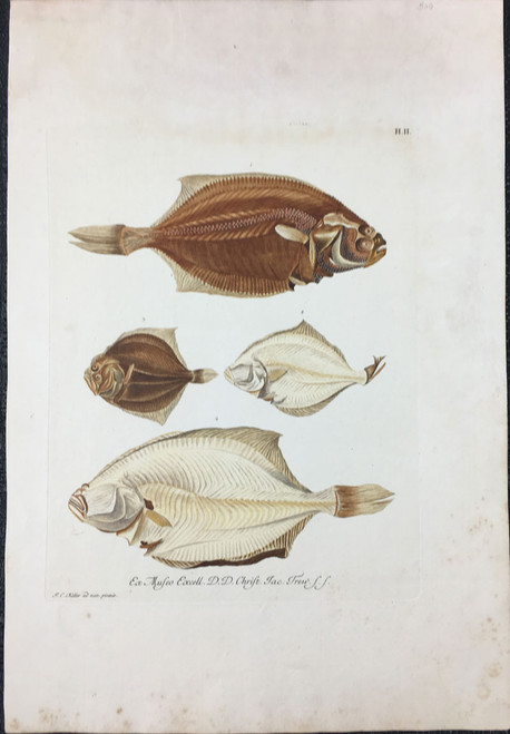 Sole or Flounder, Plate H.II