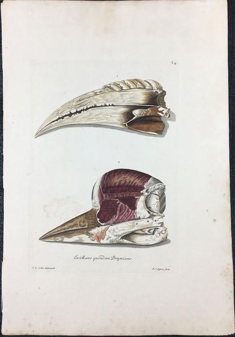 Hornbill Beak, Plate I.4