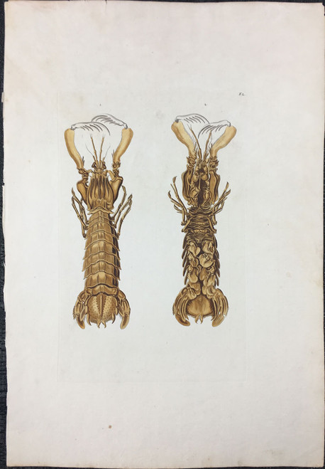 Giant Shrimp, Plate F.2