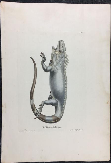 Iguana, Plate L.III