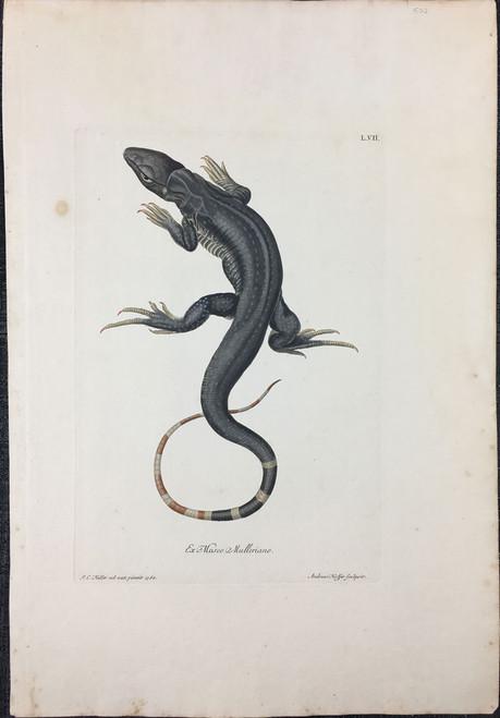 Komodo Dragaon, Plate L.VII