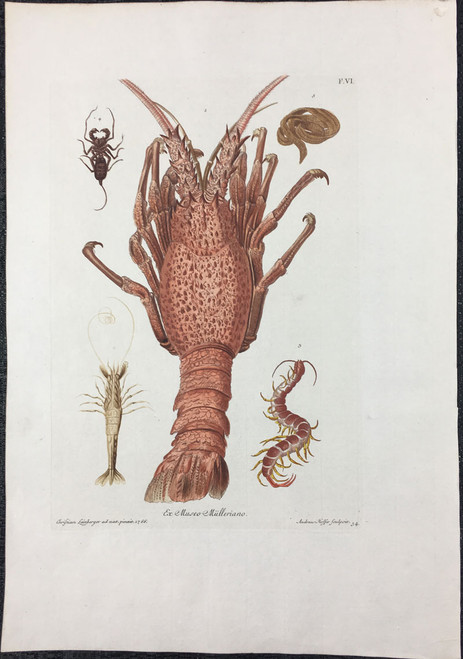 Sea Creatures Including Spiny Lobster, Plate F.VI