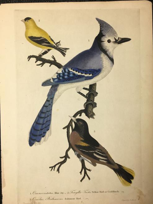 Plate 1: Blue Jay, Goldfinch, Baltimore Bird