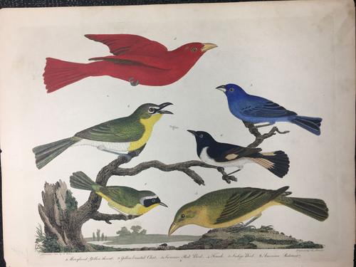 Plate 6: Summer Red Bird, Indigo Bird et al