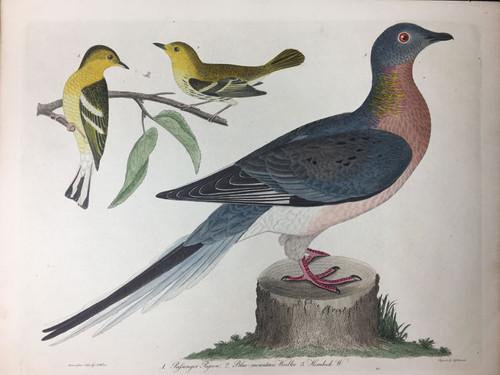 Plate 11: Passenger Pigeon (Extinct), Blue Mtn Warbler et al