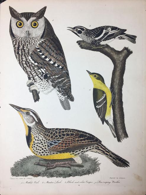 Plate 19: Mottled Owl, Meadow Lark et al