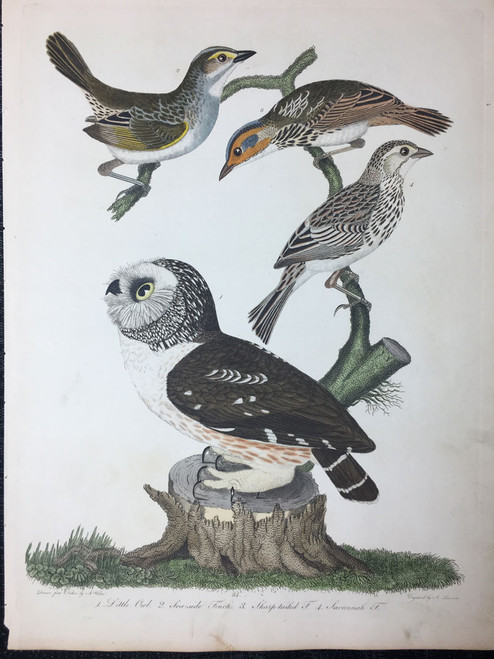 Plate 34: Little Owl, Savannah Finch et al