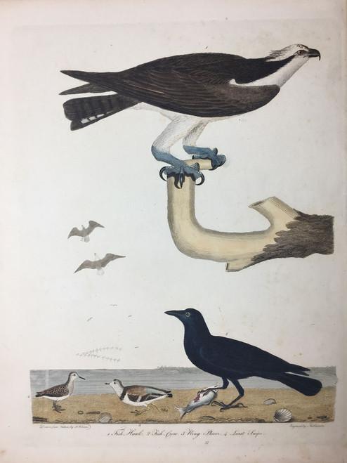 Plate 37: Fish Hawk, Fish Crow et al