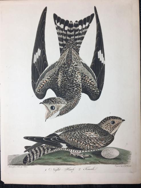 Plate 40: Night Hawk, Female