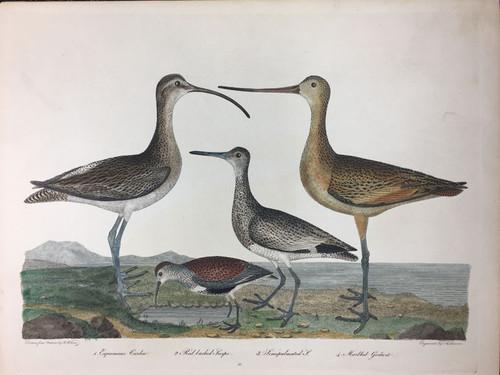 Plate 56: Esquimaux Curlew (Extinct), Marbled Godwit et al