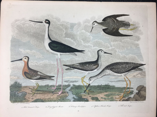 Plate 58: Long Legged Avoset, Solitary Sandpiper et al