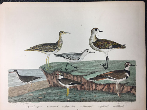 Plate 59: Spotted Sandpiper, Ring Plover et al