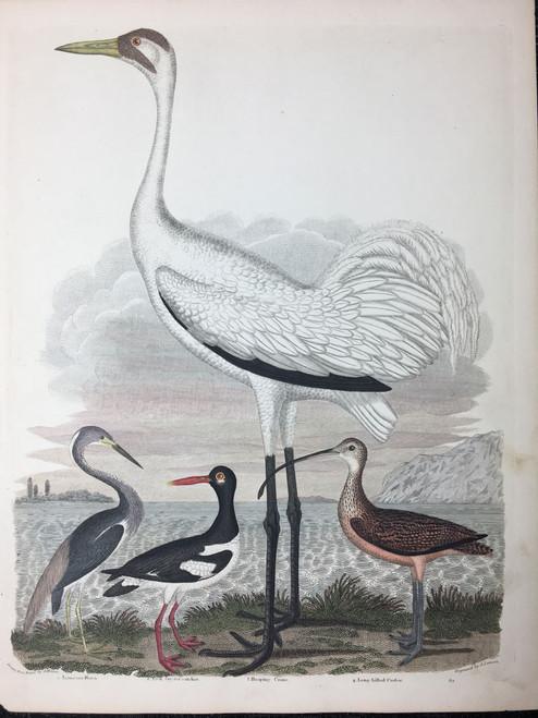 Plate 64: Louisiana Heron, Pied Oyster Catcher, Hooping Crane et al