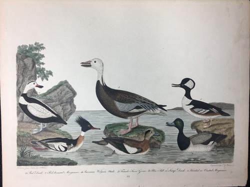 Plate 69: Female Snow Goose, Scaup Duck et al