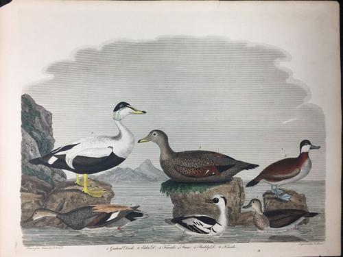 Plate 71: Gadwal Duck, Eider Duck et al
