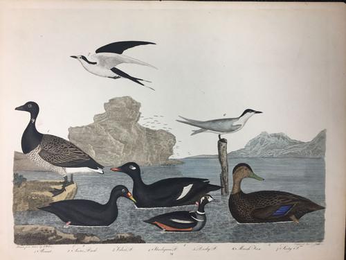 Plate 72: Scoter Duck, Dusky Duck et al