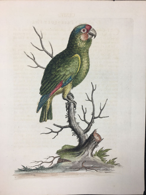 #164 Red & Blue Parrot